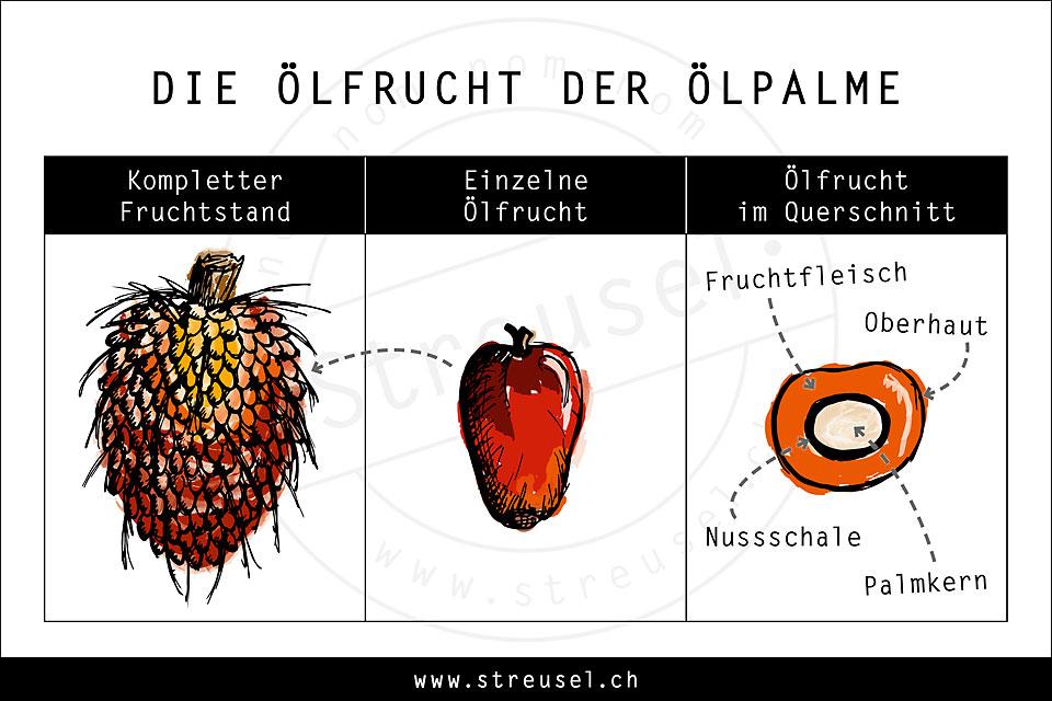 Skizze und Querschnitt einer Ölfrucht von der Ölpalme – Tipps von Streusel